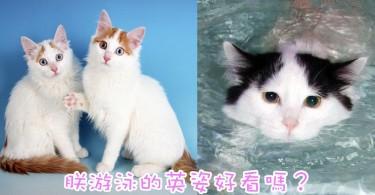 天生的游泳好手!擁有一雙美麗眼睛的土耳其梵貓!