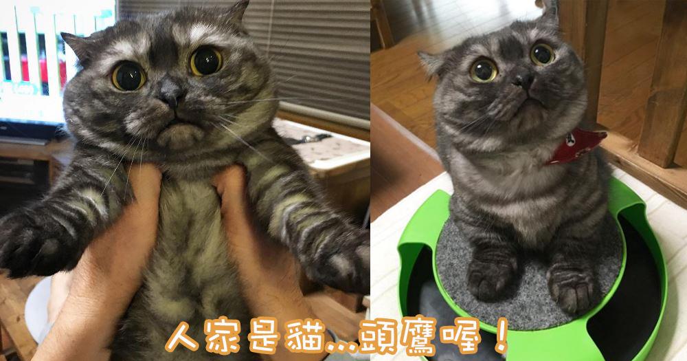 令人忍不住緊抱處理~日本曼赤肯貓主子超像貓頭鷹!