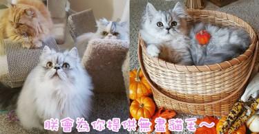 冬天就是要毛茸茸才幸福~美國七彩波斯貓家庭!