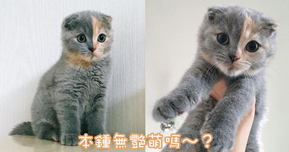 喵界最萌的小小鍾無艷!俄羅斯小主子灰橘色臉可愛又漂亮~