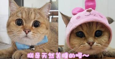 有誰比朕的眼睛瞪得大呀~泰國超可愛橘貓眼睛圓滾滾!