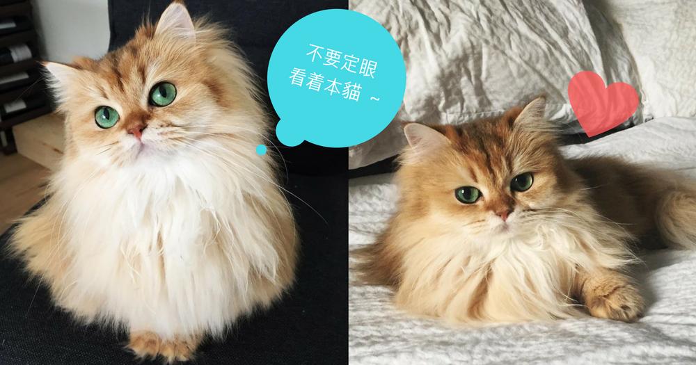 被譽為「地球表面最美麗的喵星人」!跟這隻超高貓顏值的名模貓對上眼~一秒都會被電暈!