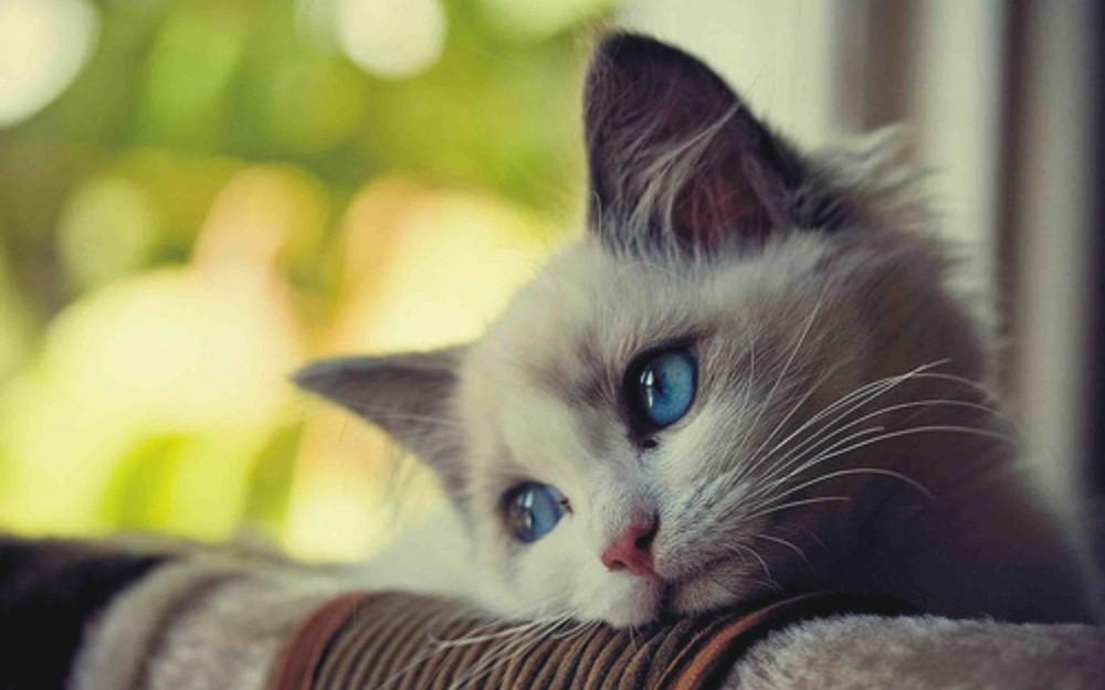 7个猫咪们可能患上焦虑症症状,天生敏感性格带来的压力图片