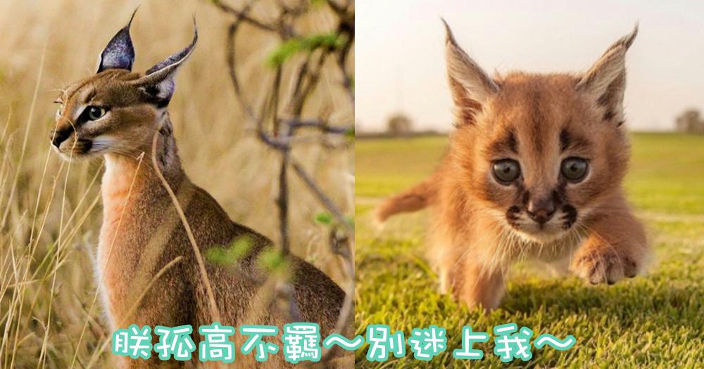 荒漠與草原的皇者~野性俊美的獵人獰貓!