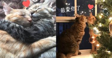 放閃豈止是人類專利!時刻都在放閃的「熱戀貓咪」~我們就愛整天膩在一起啦喵