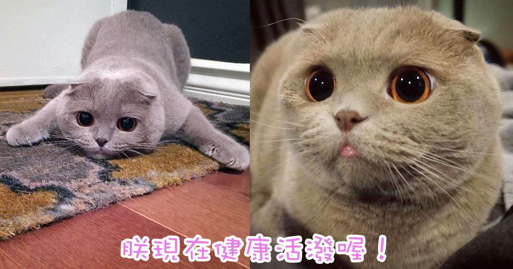 從心臟病中活下來的喵星人~藍貓主子又圓又可愛,萌度爆表!