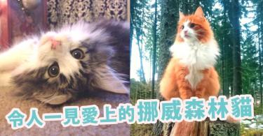 毛茸茸又不怕人!5個愛上「挪威森林貓」的理由~就算不愛貓咪的人也會心動想養啊!