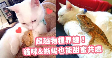 超越物種界線 ! 貓咪與蜥蜴也能甜蜜共處~比主人兩夫婦更閃更親密!