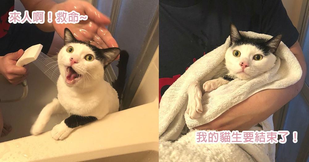 網友都笑瘋了!貓星人洗澡時憤怒→放棄心態4步曲,朕不能讓貓生就此結束啊!