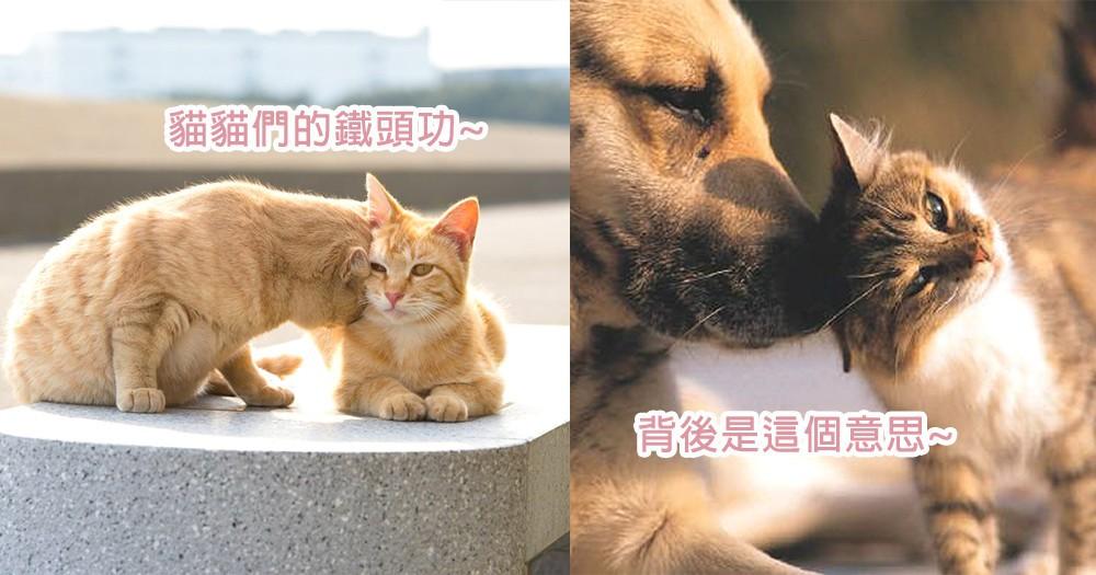 貓星人的「鐵頭功」!貓咪們總愛頭來頂奴才?原來不是肚子餓想吃飯~