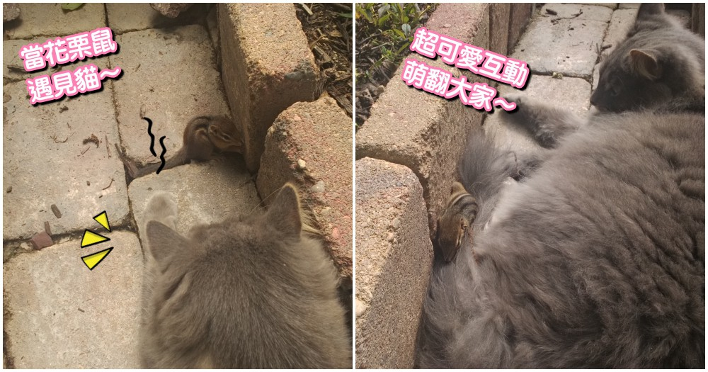 天敵變成朋友!本以為花栗鼠會變成貓咪的午餐,最後竟爬到貓背上睡覺...可愛互動萌翻網友~
