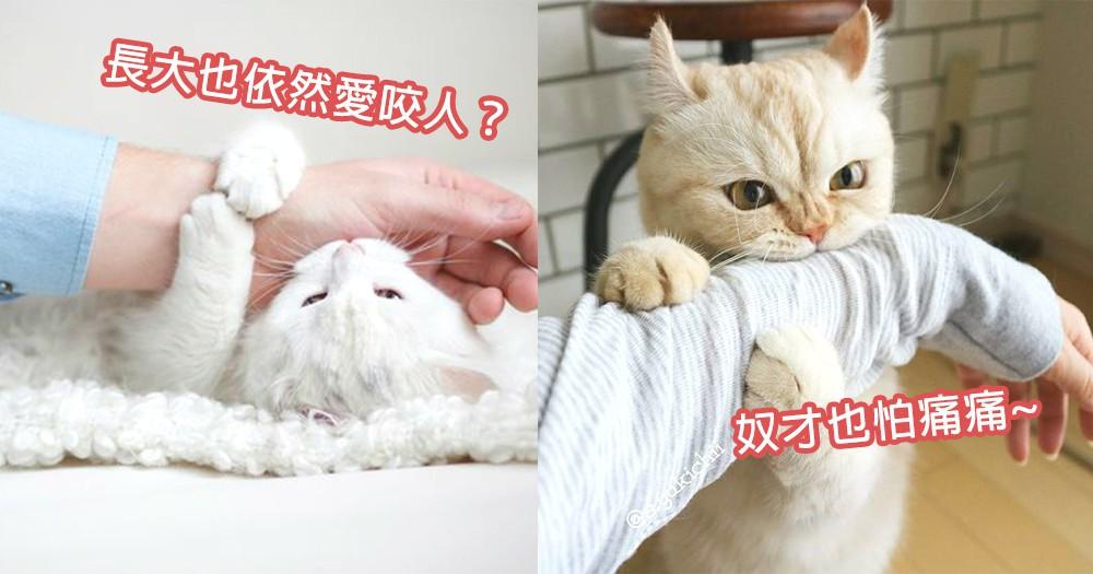 成年貓咪也咬人?6個貓咪長大後依然咬人原因,傷痕纍纍奴才必定要看!