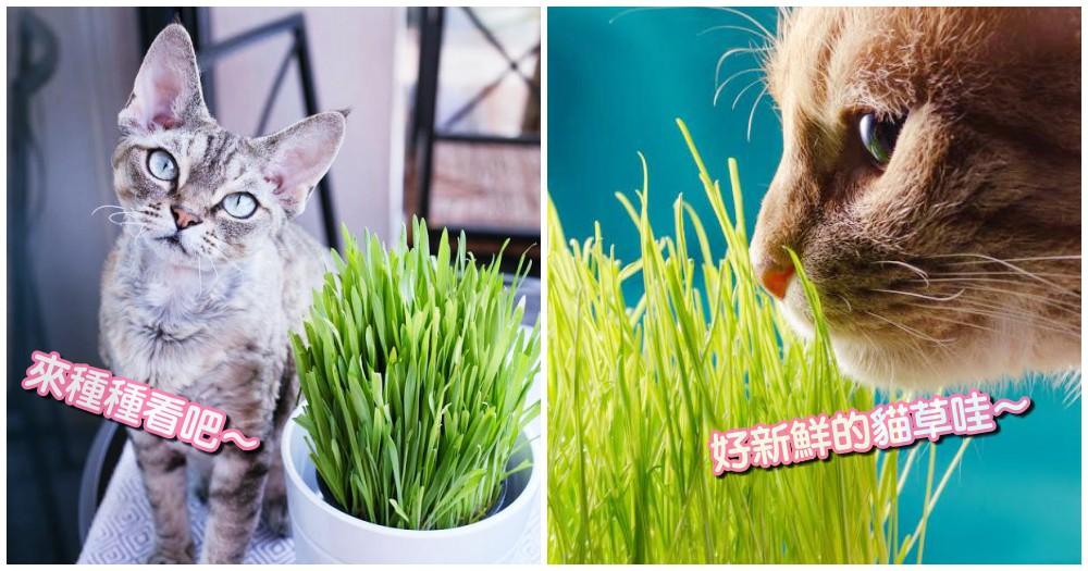 小資貓奴看過來!新鮮貓草不求人,3 步驟教你自己種~省錢又療癒!