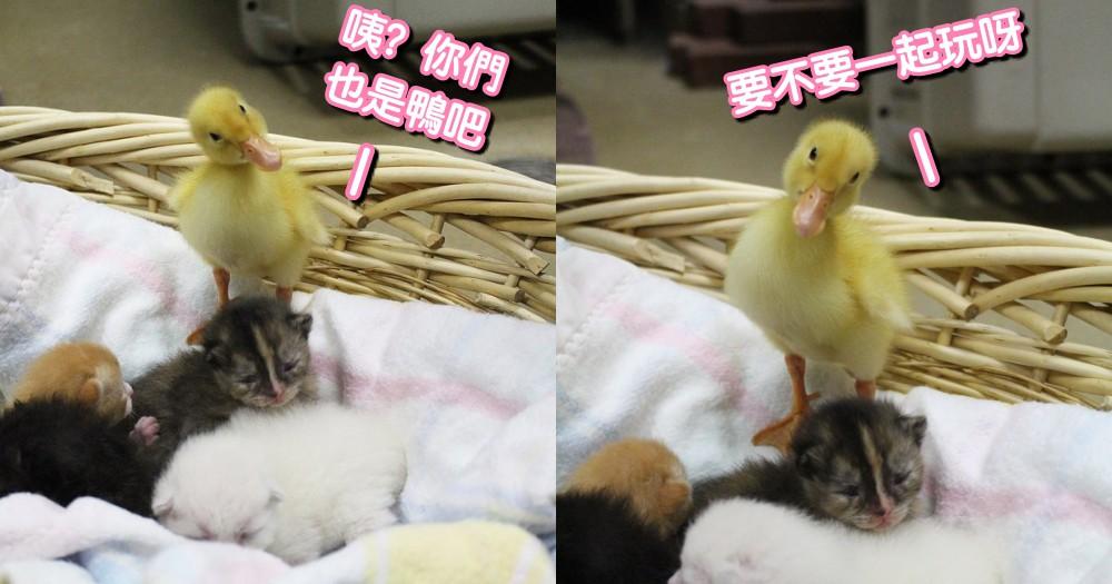 「咦?你也是鴨嗎」小鴨大搖大擺闖入幼貓群,歪頭尋找玩伴...呆萌傻樣網笑:你媽同意?