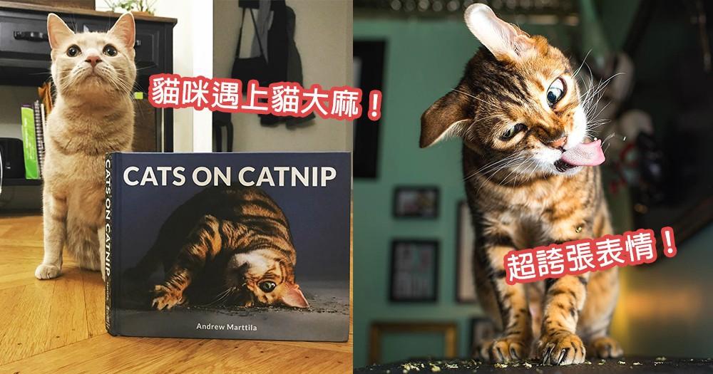 「貓大麻」的魅力!貓咪遇上貓草後的誇張表情合集,果然就是讓貓無法抵抗的「毒品」~