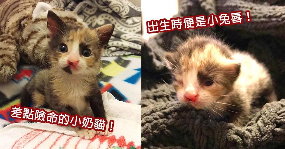 出生差點險命!兔唇小奶貓喝不到奶、長不大,幸遇暖心家庭長大成小美女~