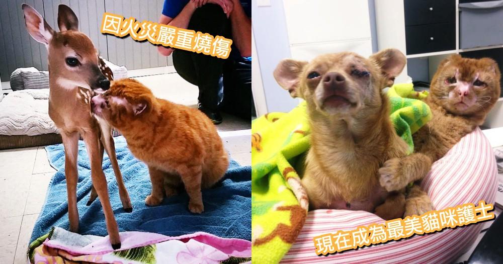 燒傷貓咪化身療癒天使!嚴重燒傷也不放棄求生希望,成為獸醫院裡最美的貓咪俏護士~