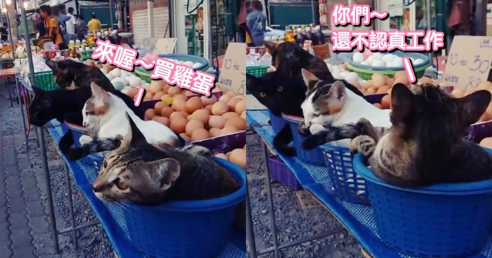 雞蛋攤的招財貓!四隻貓咪悠閒坐在攤上,可愛模樣萌翻路人~網笑:老闆,一盆貓怎麼賣?