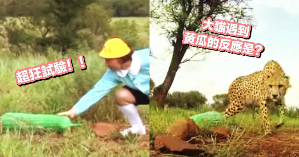 貓咪被黃瓜嚇呆,那大貓呢?日本超狂綜藝節目『親身試驗獵豹』~結果ΣΣ(゚Д゚;)!