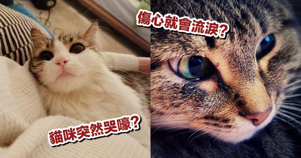 【貓咪小知識】貓咪哭嚎的原因是?突然發出哭聲可能是焦慮...可透過這幾點檢閱!