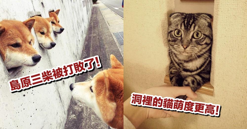 萌出一個新高度!推特爆紅話題『探出牆洞的貓』,可愛感比柴犬還更勝一籌呢!