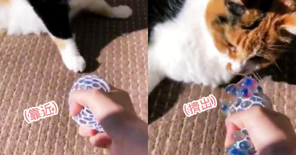 貓咪也有密集恐懼症?!日本網友在貓面前展示新玩具,貓貓看到立馬傻眼逃離!