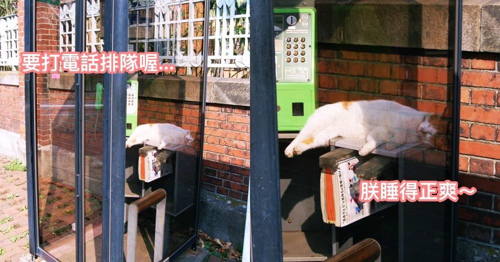 日本電話亭的獵奇現象!橘貓側躺「肥肚外露」曬太陽爽歪歪~ 網笑:電話亭長貓啦!