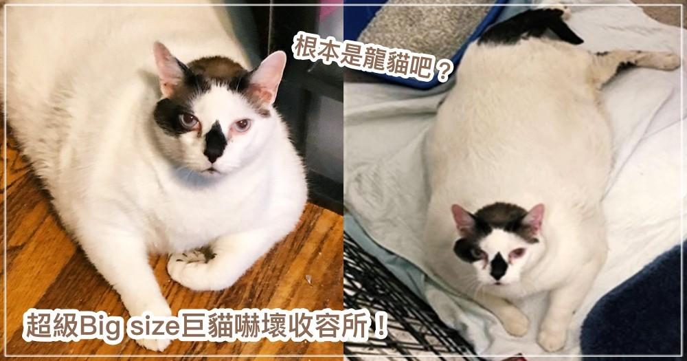 阿罵養的?18公斤巨貓超重體型找不到籠子住~嚇壞收容所志工:從沒見過這麼大隻的!