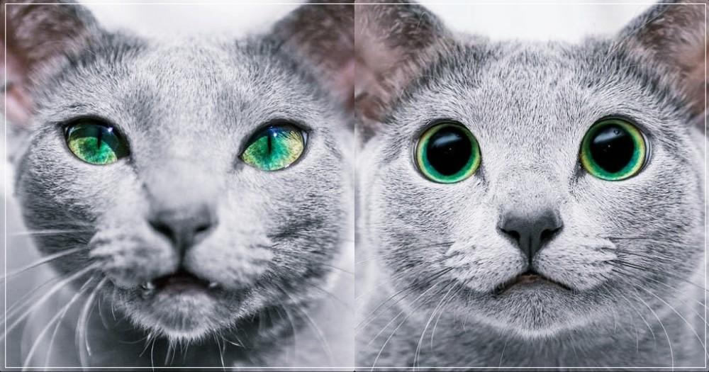 眼裡藏碧湖!絕美俄羅斯藍貓姐妹,獨特「漸層碧眼」太迷人!網:看到失魂!