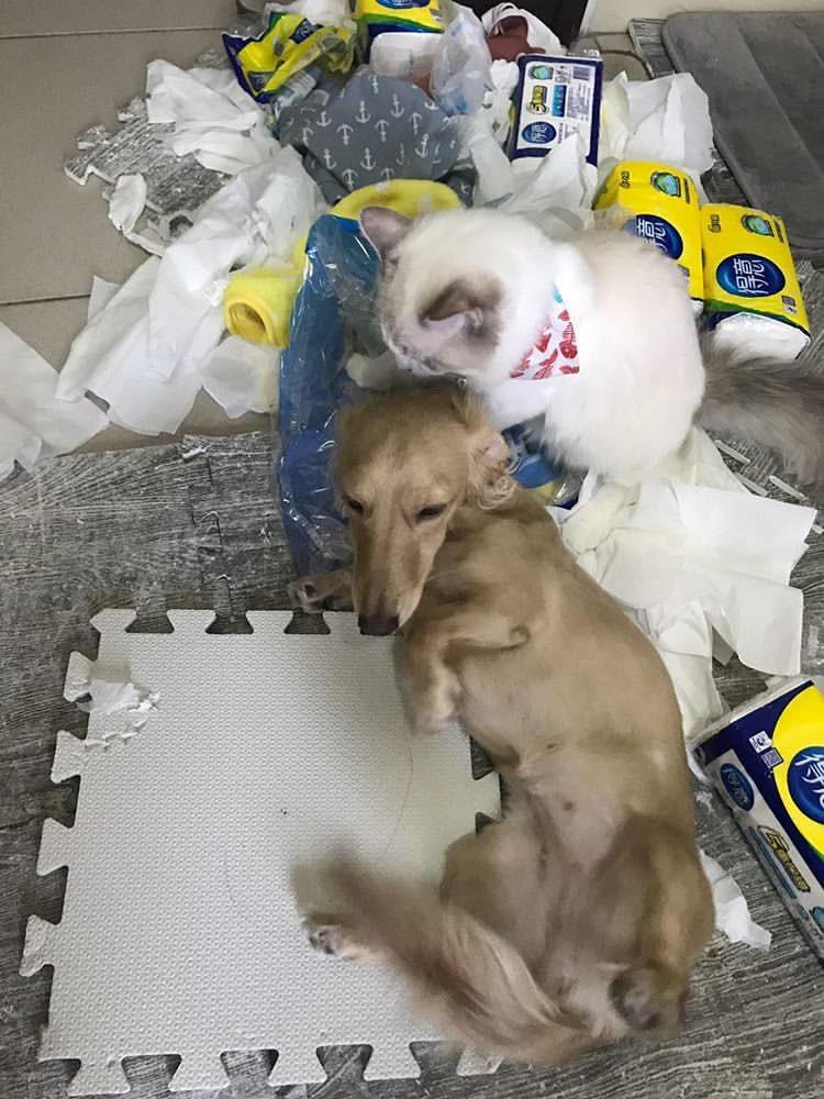 玩衛生紙玩到瘋掉的貓