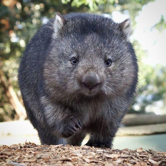 澳洲無名英雄袋熊