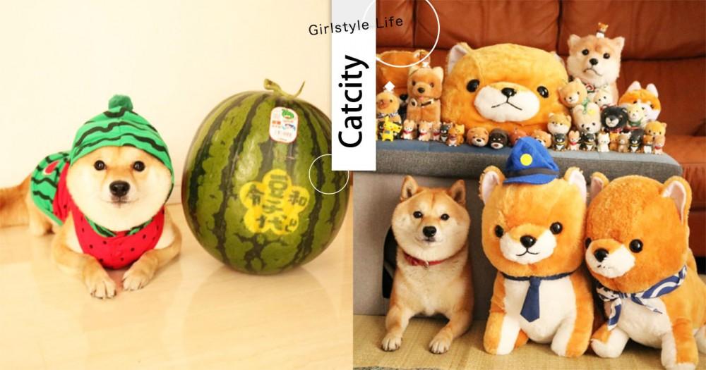 柴柴好療癒!日本柴犬「豆千代」變裝日常,可愛西瓜頭套讓粉絲暴動啦!