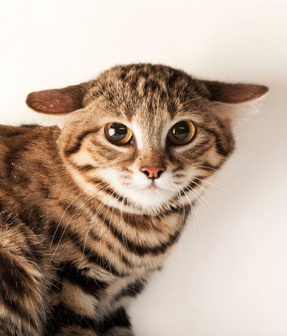 史上最萌非洲貓咪