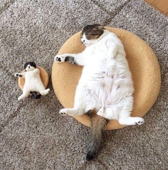 貓咪奶頭有幾個