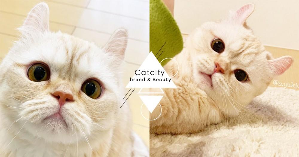 微焦棉花糖色+小飛耳!日本超萌捲耳貓驚艷網友,小傢伙真的太誘人啦~