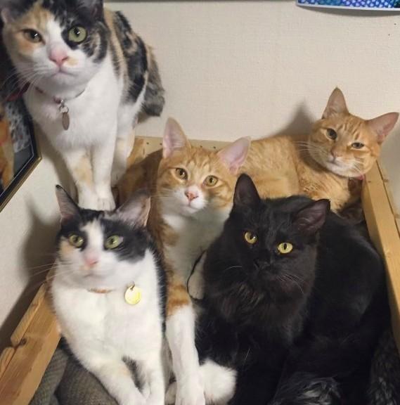 日本三花貓