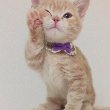 日本網紅貓