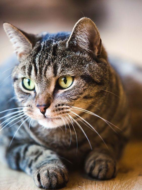 米克斯,虎斑貓,個性分析