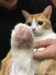 貓咪黴菌,肉球黑有屑,貓咪香港腳