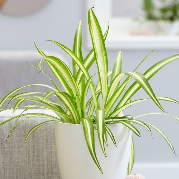 養貓居家,養貓植物,家居植物
