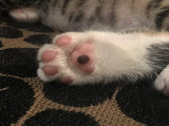貓咪肉墊清潔