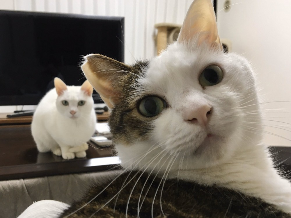 貓咪,日本