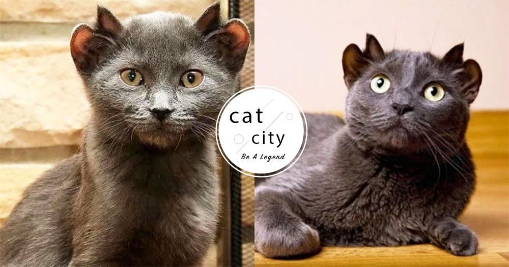 根本尤達!國外罕見藍貓天生「4個耳朵」,連獸醫都驚訝:「撿到寶了!」
