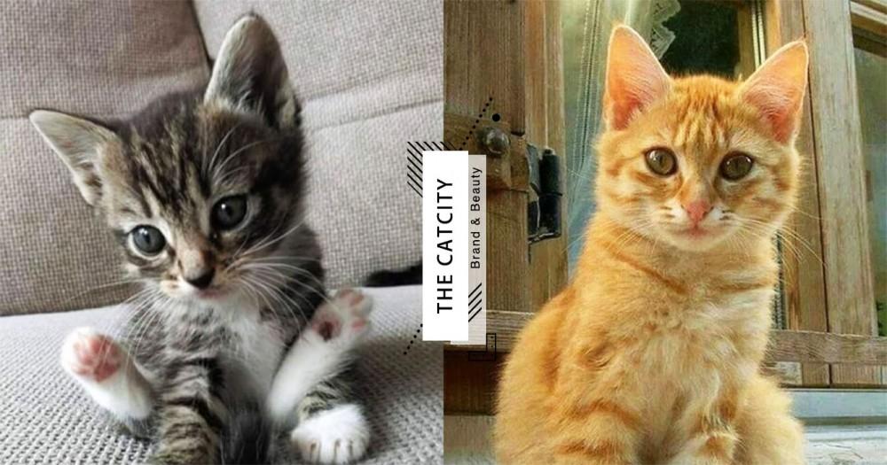 【貓咪認養台中】領養貓咪管道去哪找?台中地區領養網站總整理!